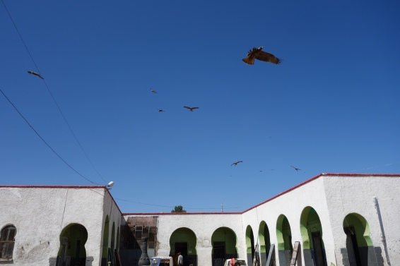Falcons swoop for scraps at the camel meat market.