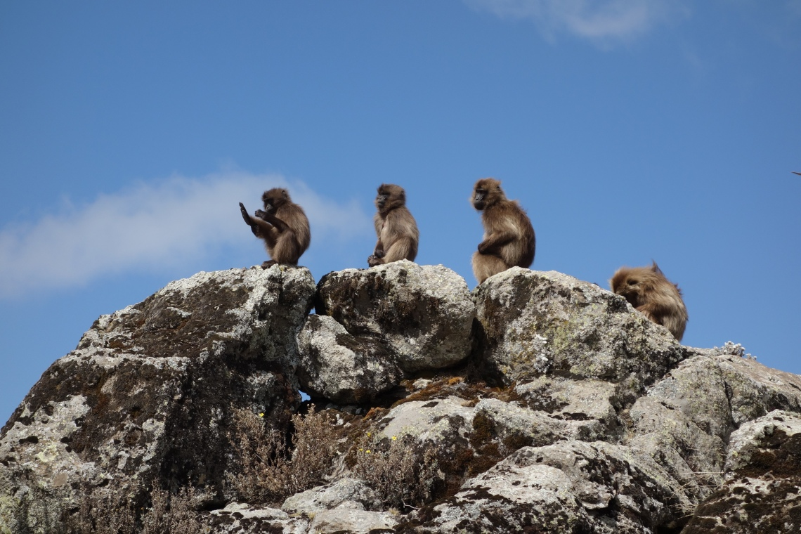 baboons-simien-mountains-ethiopia-1