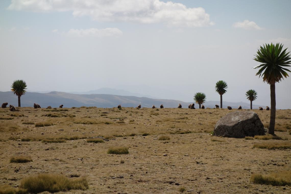 baboons-simien-mountains-ethiopia-2