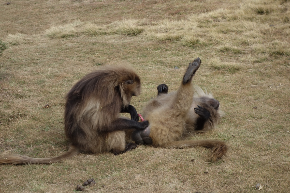 gay-baboons-sex-simien-mountains