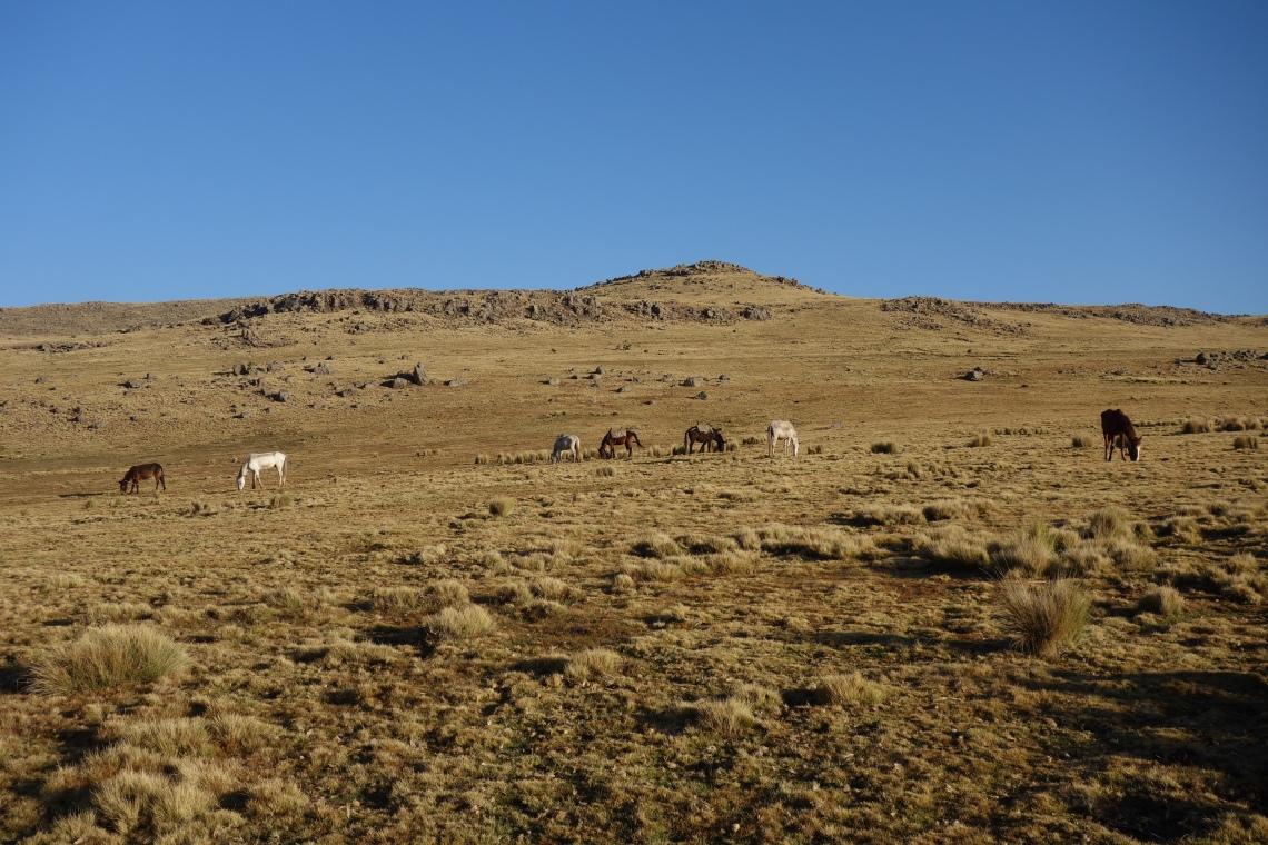 simien-mountains-horses