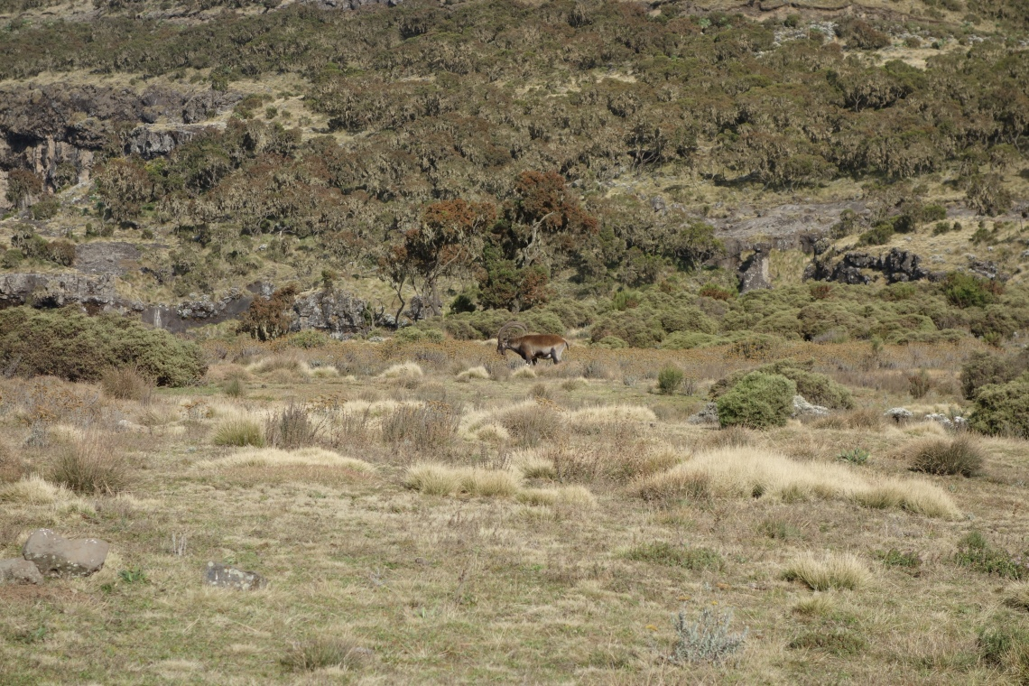 wole-ibex-simien-mountains