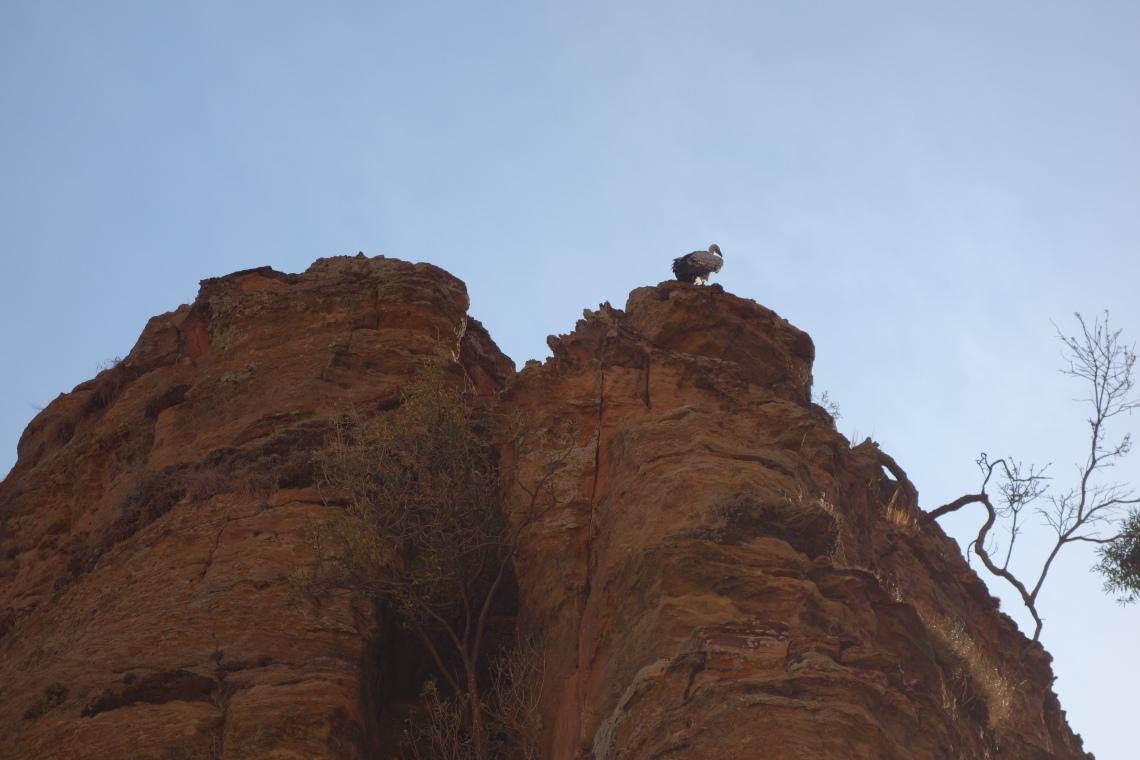 ethiopia vulture