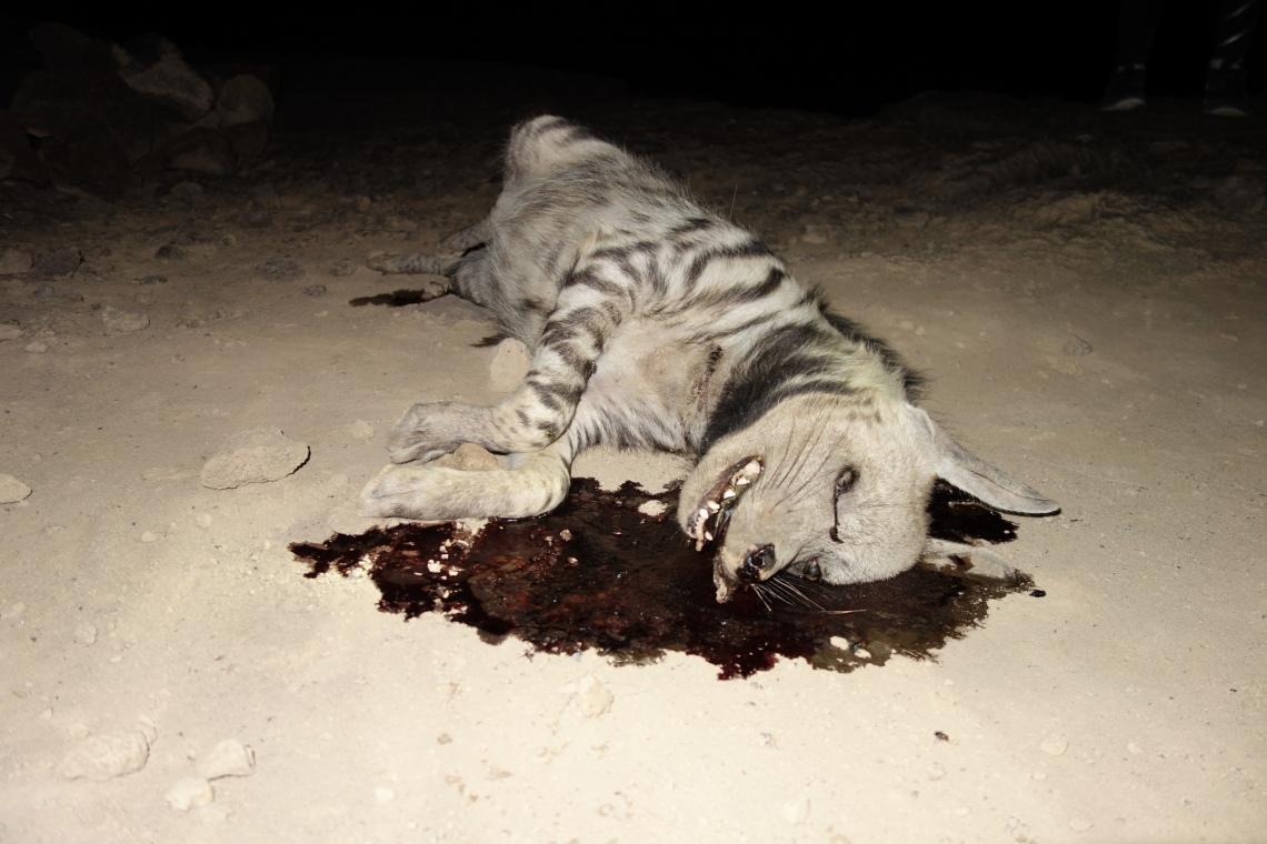 dead hyena