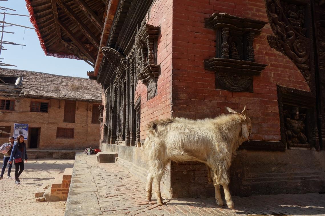 nepal goat
