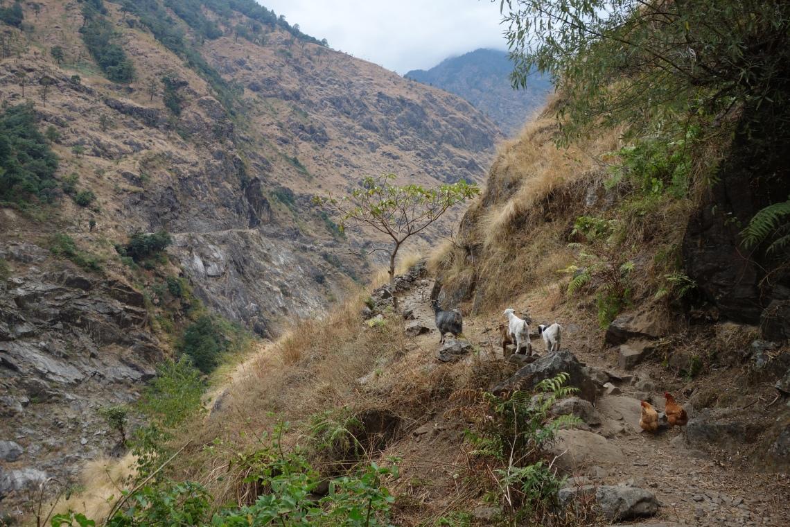 annapurna circuit goats himalayas nepal