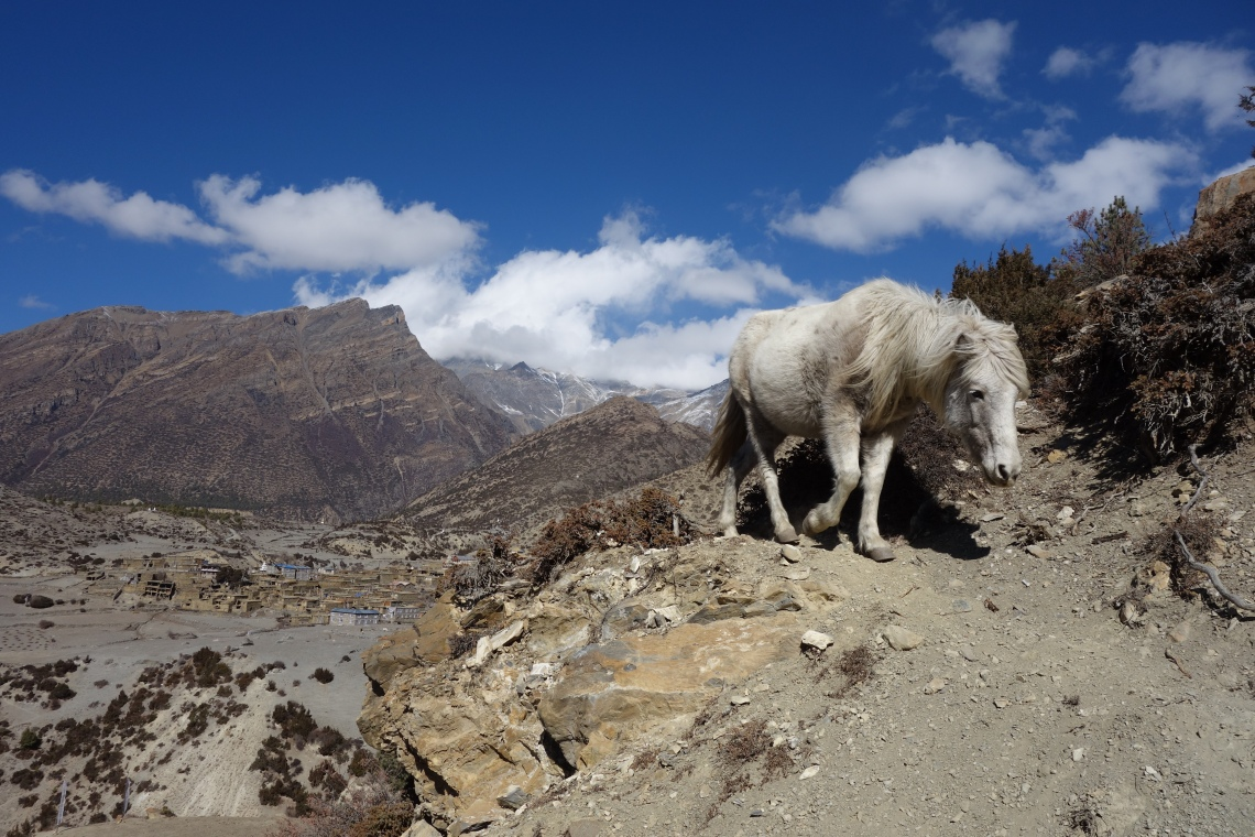 ngawal horse annapurna ciruit nepal travel blog