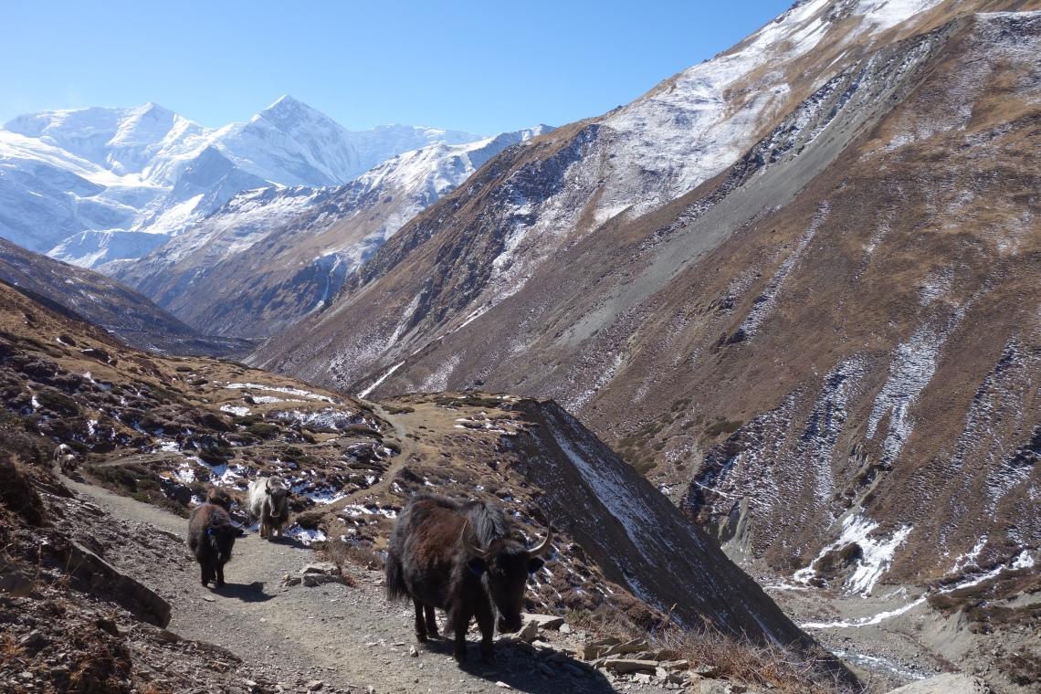 yaks yak himalayas nepal annapurna circuit