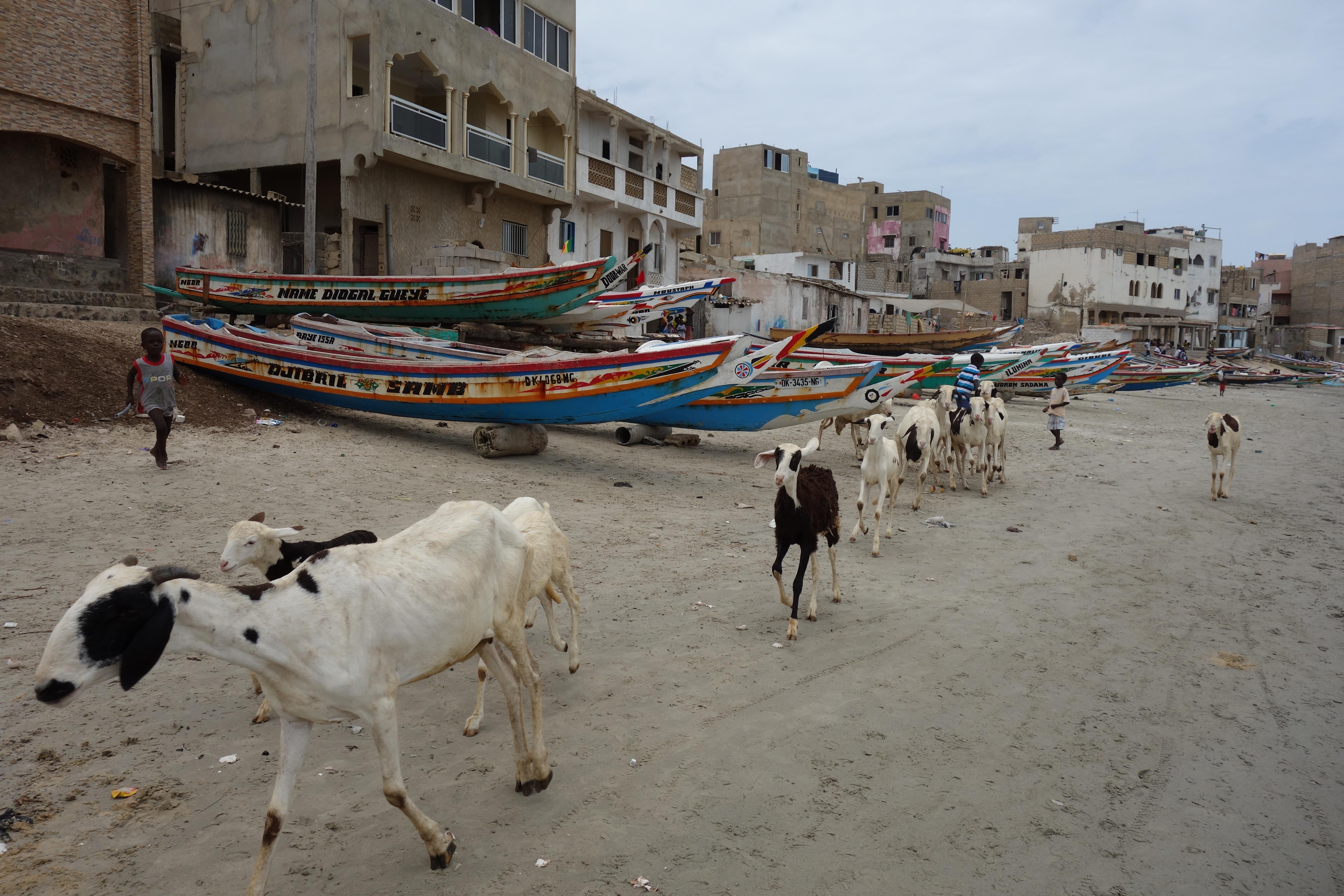 plage de n'gor ngor beach goats (1)
