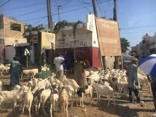 Because of Tabaski, there are sheep markets on every corner!